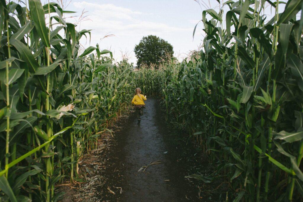 The Chilliwack Corn Maze