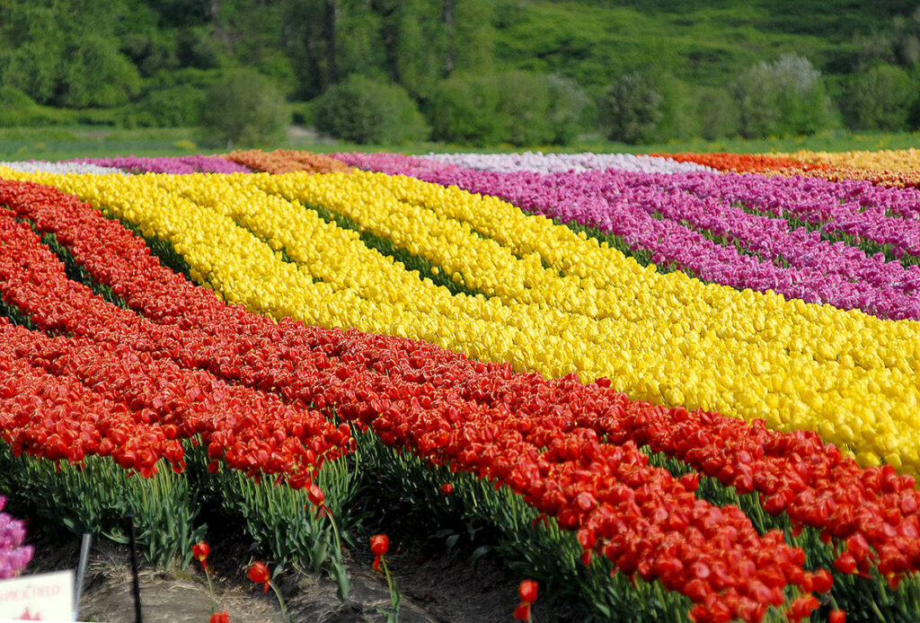 Field of tulips Source: https://www.missioncityrecord.com/wp-content/uploads/2019/04/16351033_web1_180330-ABB-Tulip-Festival-file_1.jpg